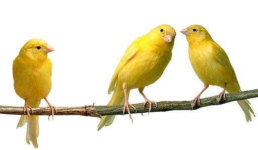 عصافير الكناري