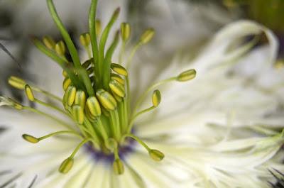bunga habbatussauda