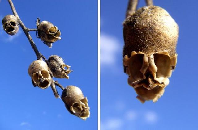 Snapdragon seed pods (Antirrhinum)