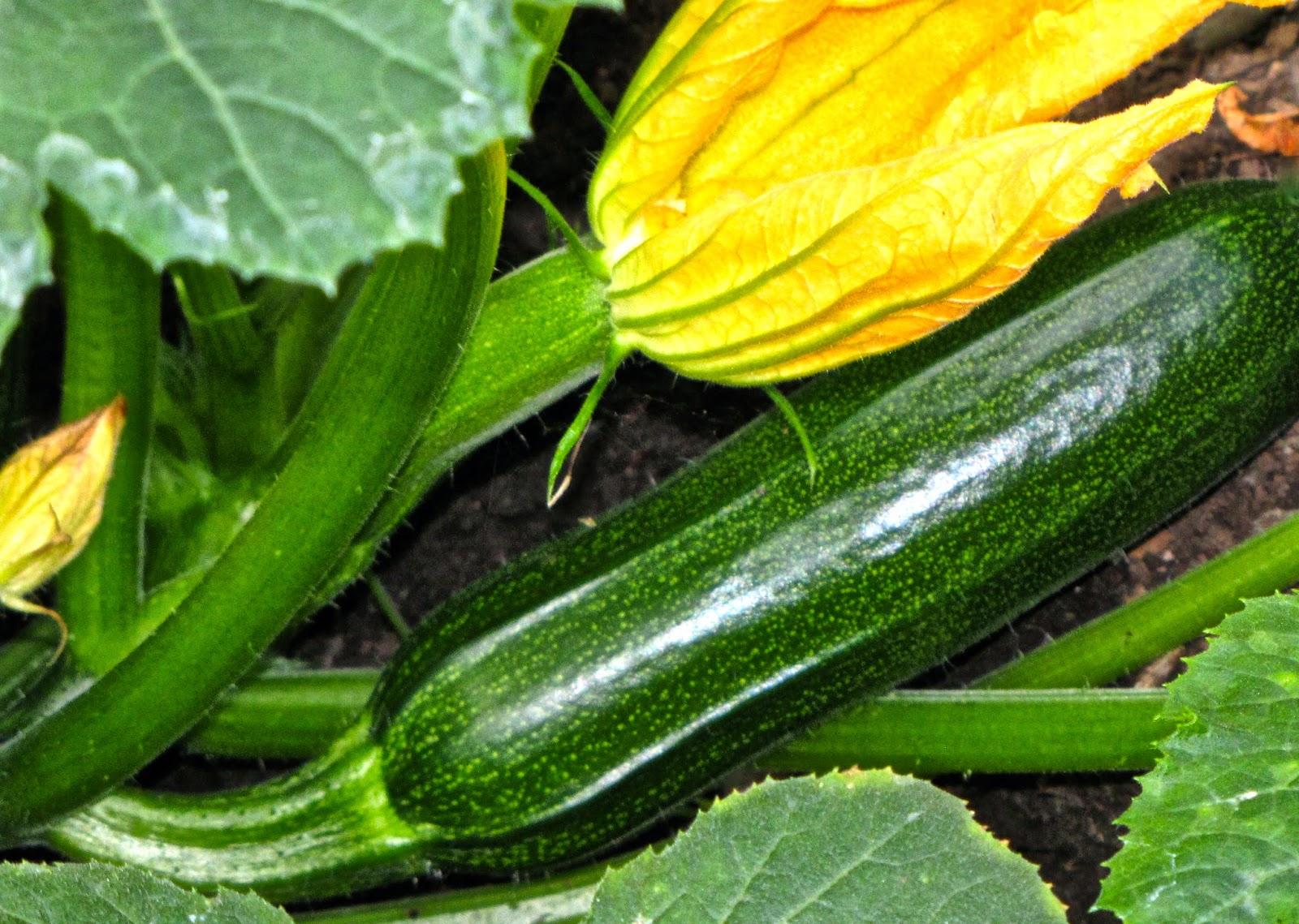 Sitkavores Zucchini