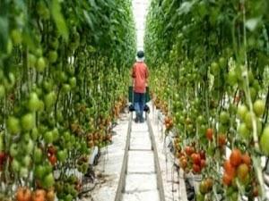 Cara Menanam Tomat yang Baik dan Benar Agar Panen Melimpah