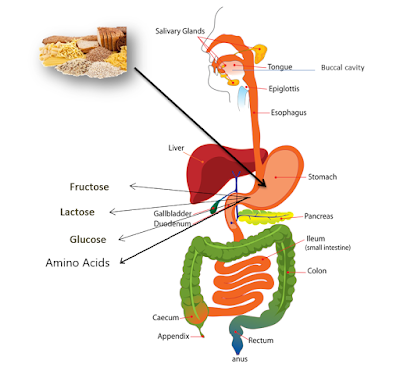 class 7 science chapter 2, CTET, CTET Paper II, CTET TGT, ncert solutions for class 7 science chapter 2, nutrition in animals class 7, www.educationphile.com, Digestive system