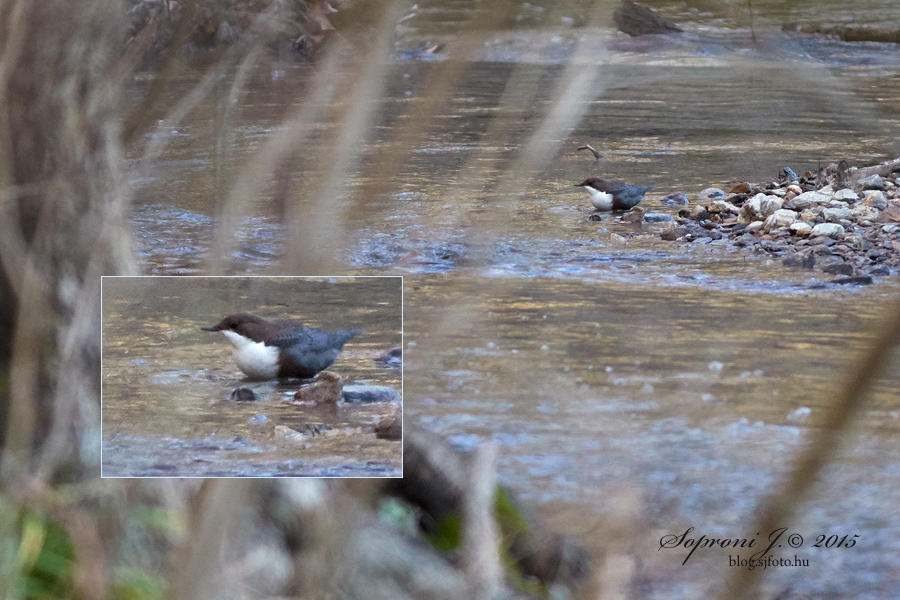 Vízirigó - White-throated Dipper - Wasseramsel - Cinclus cinclus