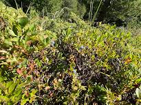[Ericaceae] Vaccinium mytrillus - Whortleberry, European Blueberry (Mirtillo nero)