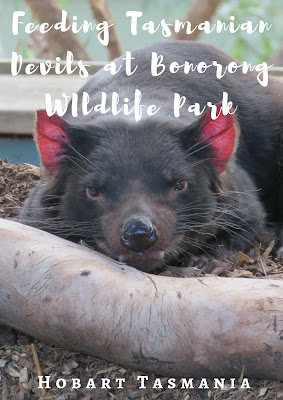 Bonorong Wildlife Park: An Unbelievable Experience Feeding Tasmanian Devils in Tasmania