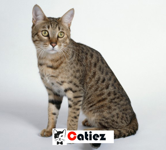 California Spangled cat - all you want to know about California Spangled cats