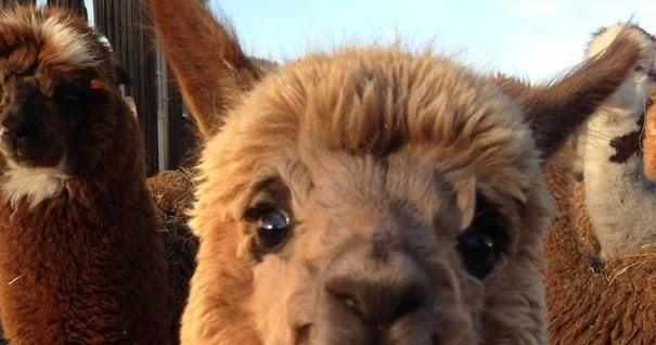 This Cute Smiling Alpaca Animals