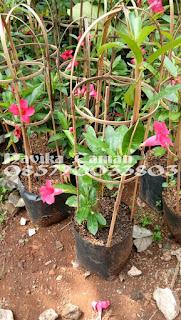 Jual Tanaman Rambat Mandevilla Berbagai Macam Warna Bunga