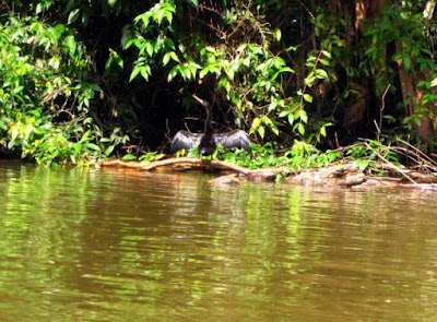 Anhinga en Tortuguero