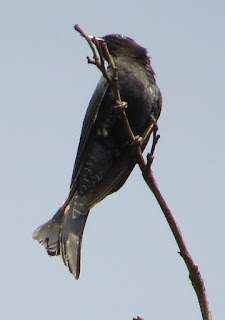 drongo-cuckoo, Surniculus sp.
