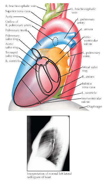 Lateral chest radiographs with corresponding cardiovascular structures.
