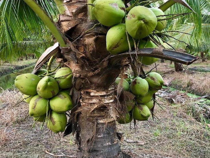 Bibit Kelapa Hibrida super genjah cepat berbuah Kalimantan Tengah
