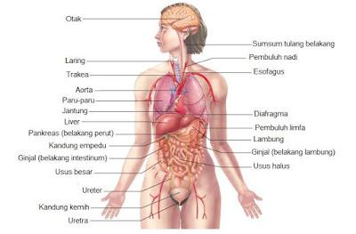 Organ dalam tubuh
