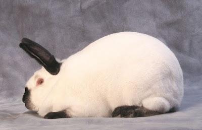 contoh kelinci betina