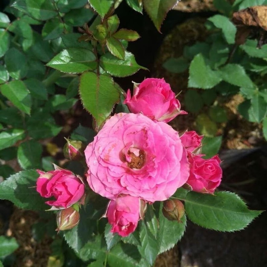 Tanaman Hias Bunga Hidup Mawar Floribunda Berbunga Sumatra Selatan