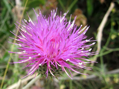 Western thistle