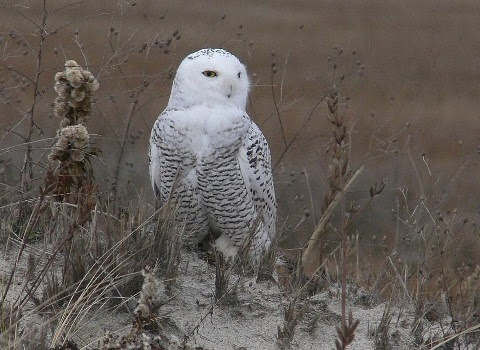 Macaroni: Snowy Owl Hunting