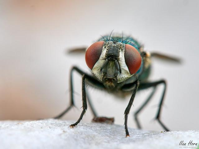 Housefly Eyes