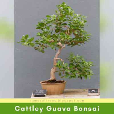 Cattley Guava Bonsai