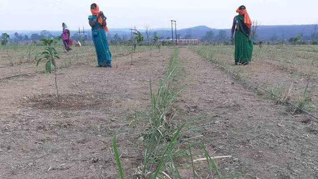 फसलों के बीच लेमन ग्रास की खेती कर किसान कर रहे हैं लाखों रुपये की अतिरक्त आमदनी