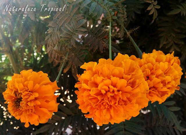 Inflorescencias características dobles de la Flor de Muertos, Tagetes erecta