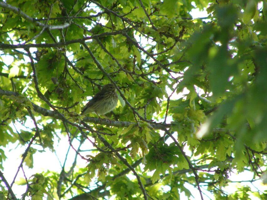 un paxaro, a pica das árbores, pousado nunha póla de carballo