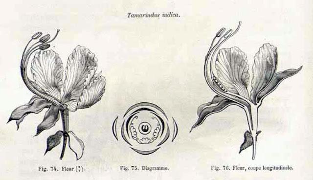Tamaryndowiec indyjski, tamarind (Tamarindus indica) - jak wygląda w naturze, jak kwitnie, po ilu latach zakwitnie tamaryndowiec? Wygląd, pochodzenie, kwiaty, budowa, owocowanie.