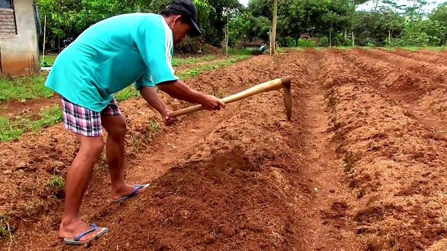 pengolahan tanah tanaman jahe