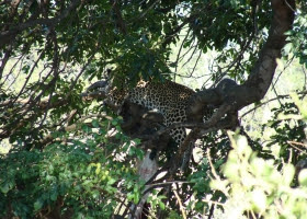 The Leopard is disguised in a tree.