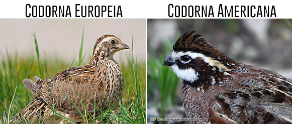 Codorna-Europeia-Codorna-Americana