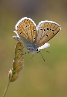 Para ampliar Polyommatus dorylas hacer clic