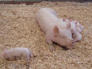 Country Show; Farm Animals; Farm Show; Goshen Fair; New Production News Views Etc... Rack Toys; New Products; News; News Views Etc...; Piglets; Pigs; Rack Toy Figures; Shelfies; Small Scale World; smallscaleworld.blogspot.com; Summer Show;