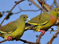 Download Kumpulan Suara Burung Punai Mp3 Terlengkap