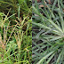 A Grass Called Paragis That Can Fight Off Many Kinds Of Diseases You Probably Did Not Know