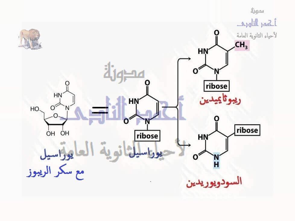 الحمض النووى الريبوزى الناقل - t.rna – القواعد المعدلة - السودويوريدين - الريبوثايميدين – مضاد الكودون -الثالث الثانوى