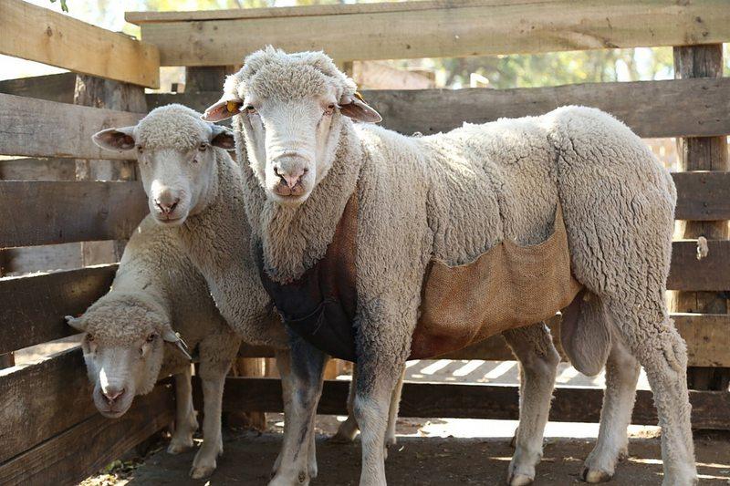 En OHiggins seleccionan ovejas para producir la lana más fina del mundo