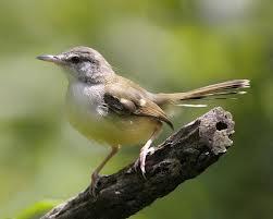 Foto Burung Ciblek Daftar Harga Terbaru