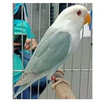 5 Burung Lovebird Paling Mahal di Indonesia