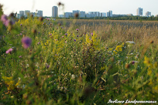 Wildblumen in Berlin
