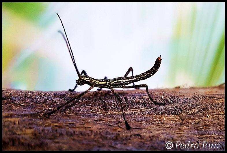 """Ninfa L1 de Autolyca herculeana """"Tegucigalpa"""", 1,7 cm de longitud"""