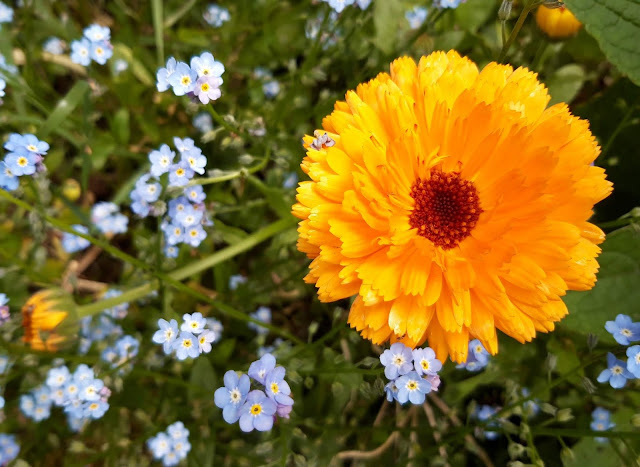 Calendula officinale Marigold