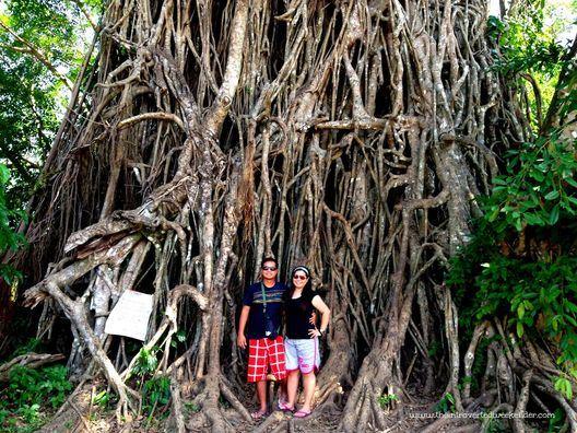 Giant Balete tree in Baler