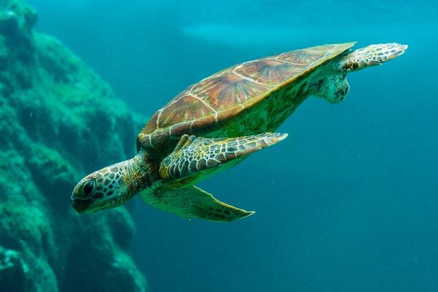 aprende ingles animal tortuga acuatica marina aletas turtle