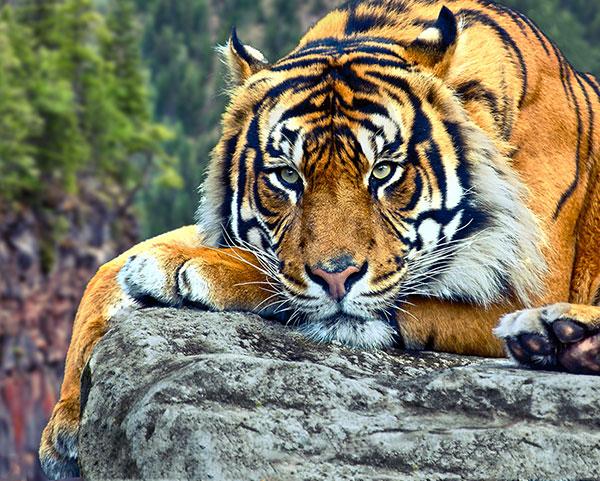 bengal tiger ka photo lion tiger ka photo