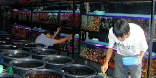 Usaha ikan hias merupakan salah satu bisnis  Kabar Terbaru- PELUANG BISNIS IKAN HIAS