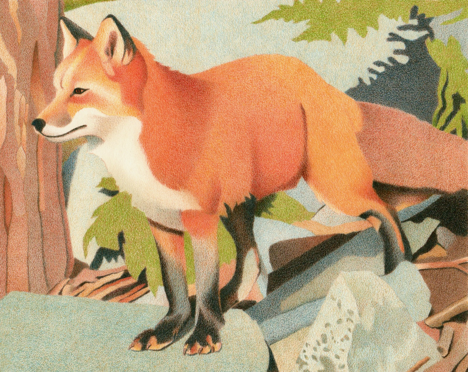 Impression Evergreen Curious Red Fox Colored Pencil Drawing