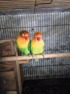 Makanan Lovebird Biar Cepat Birahi