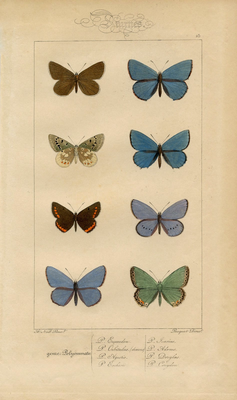 Polyommatus sketches