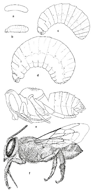 Stages in the life cycle of a leafcutter bee