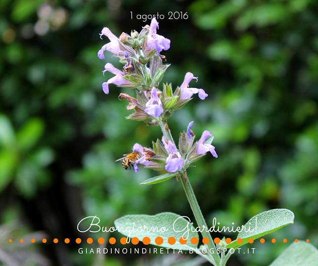 salvia (salvia officinalis) - il giardino dalla A alla Z - un giardino in diretta